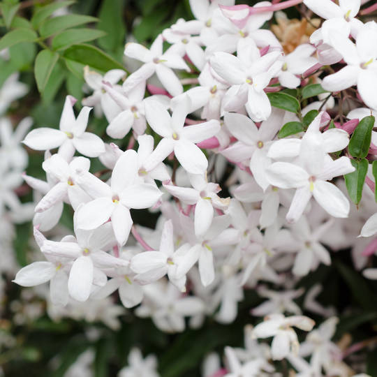 Jasmine essential oil, cosmetic grade
