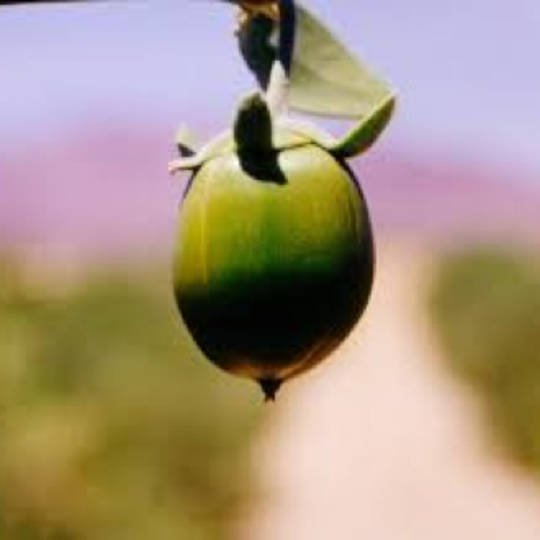 Jojoba oil, certified organic: LOW ON STOCK until early March