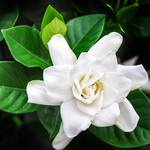 Gardenia absolute, cosmetic grade