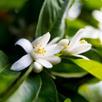 Neroli essential oil, cosmetic grade