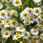 Chamomile essential oil German, certified organic