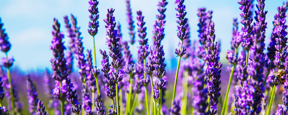 Lavender essential oil Go Native NZ