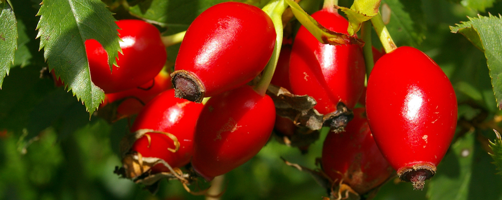Rosehip oil, certified organic