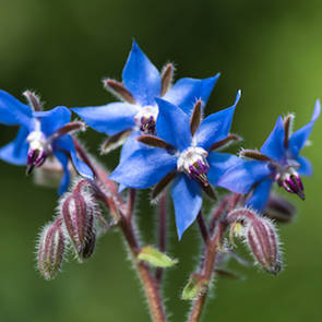 Borage seed oil, NZ