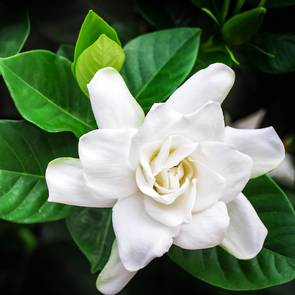 Gardenia essential oil, cosmetic grade