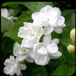 Jasmine absolute 3% in organic jojoba oil