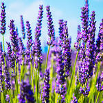 Lavender essential oil, India