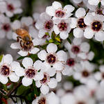 Manuka essential oil, NZ