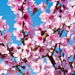 Peach blossom fragrance oil