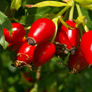 Rosehip oil, certified organic: SALE!! WE HAVE TOO MUCH STOCK!