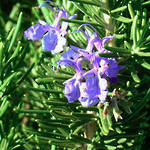 Rosemary essential oil: OUT  OF STOCK until end of April