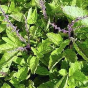 Holy basil essential oil, certified organic