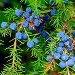 Juniper essential oil, certified organic