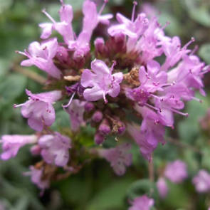 Marjoram essential oil, certified organic