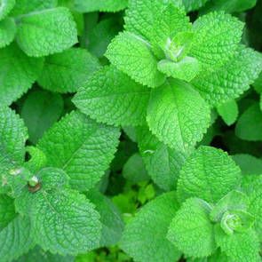 Peppermint essential oil, certified organic