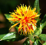 Safflower oil, certified organic