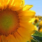 Sunflower oil, certified organic